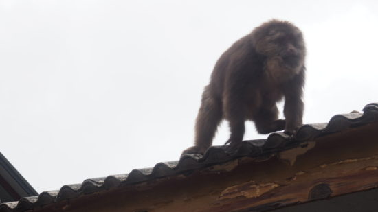Mount Emei Monkey